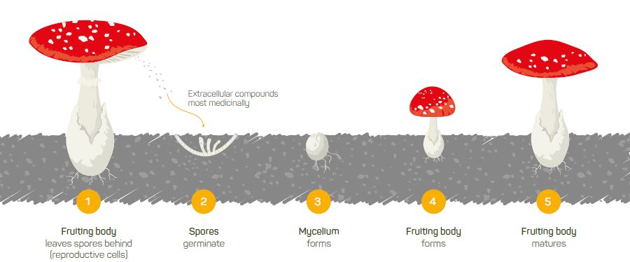 Our mushrooms in the spotlight
