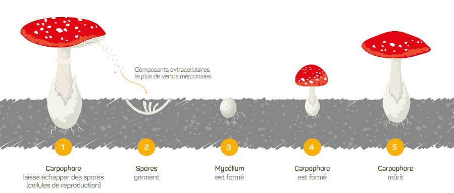 Nos champignons à l'honneur